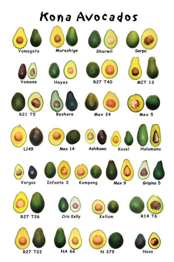 Avacado Types  The Different Types of Avocados