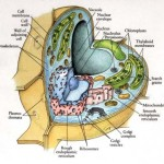 <b>Anatomy Cytoplasm</b>