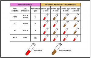 Blood Type Compatability