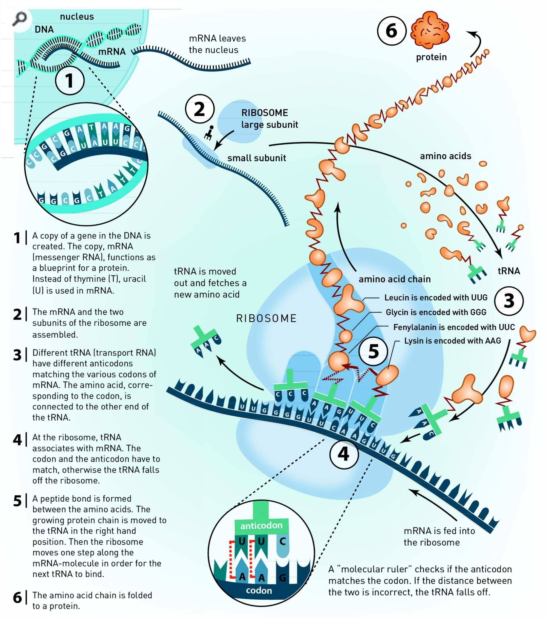 Translation dna to mrna to protein infographic all things translation dna to mrna to protein infographic all things biology pinterest infographic genetics and molecular biology malvernweather Choice Image