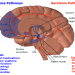 <b>Dopamine &amp;amp; Seratonin Pathways</b>