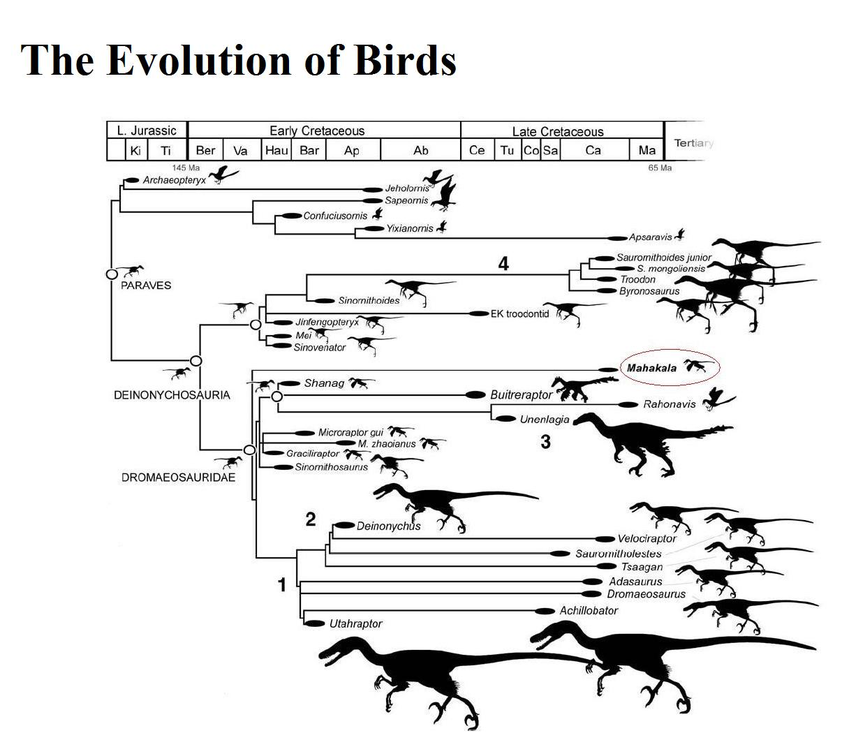 Evolution of the birds chart from L.jurassic to early cretaceous and late creataceous.