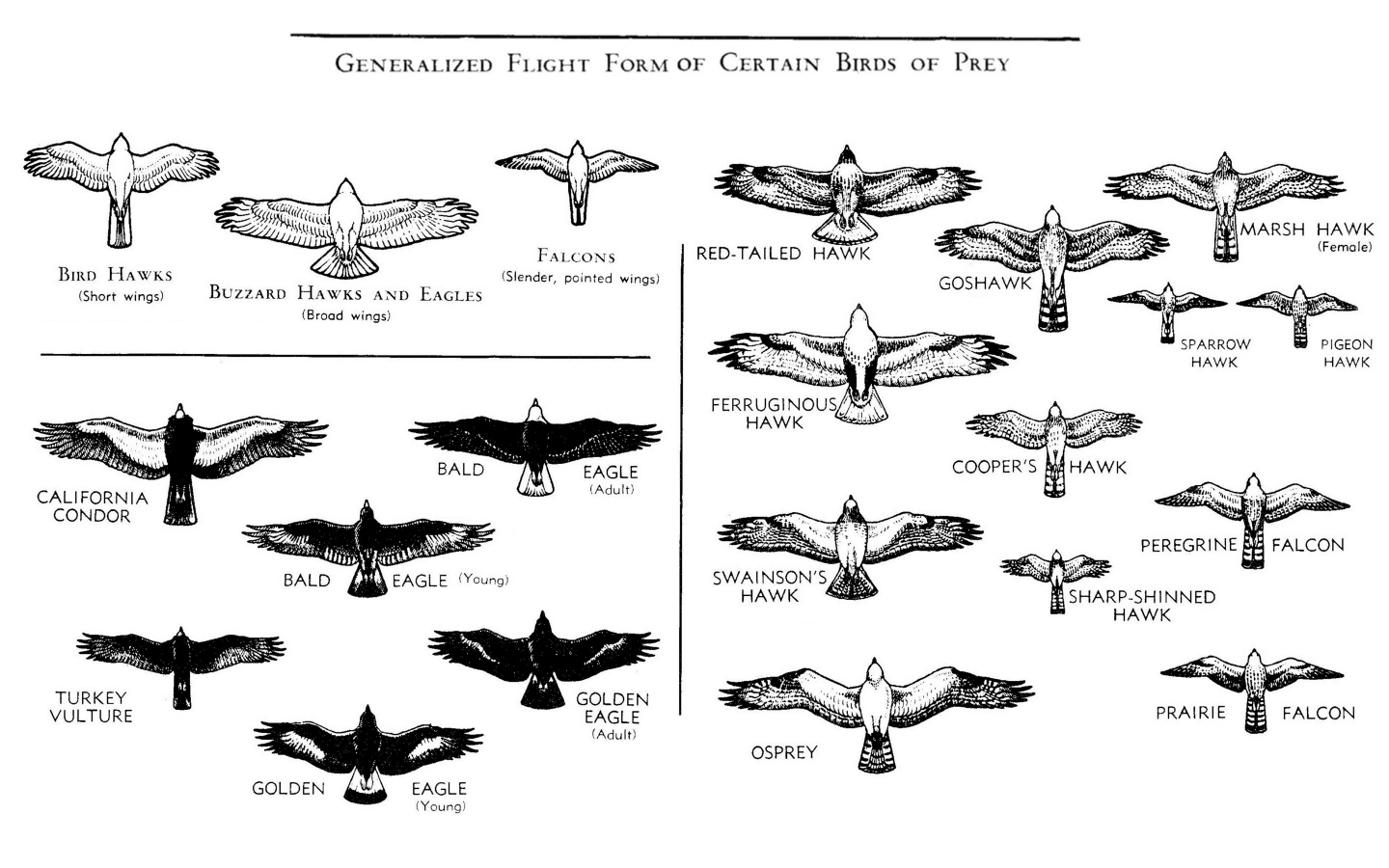 Generalized of birds flight form depending on its kind. From bird hawks with short wings, buzzard hawks and eagles with broad wings and falcons with slender pointed wings.