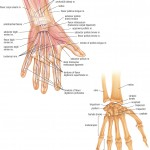 <b>HB Anatomy Hands</b>