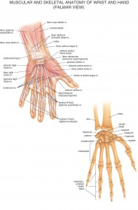 HB Anatomy Hands
