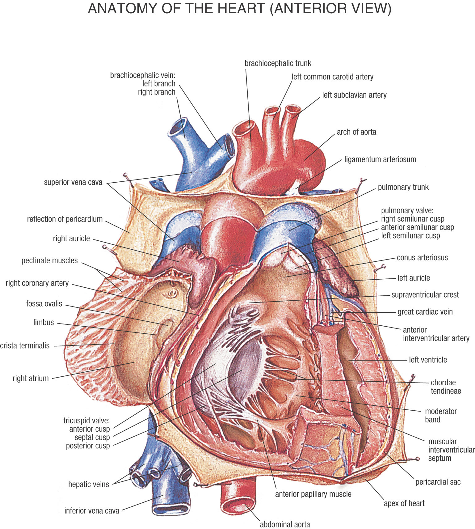 The heart is an hollow muscle that pumps blood all through the blood vessels by rehashed, cadenced compressions. It's discovered in all creatures with a circulatory framework (incorporating all vertebrates). […]