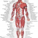 <b>HB Muscular System Anterior</b>