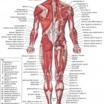 <b>HB Muscular System Posterior</b>