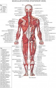 HB Muscular System Posterior