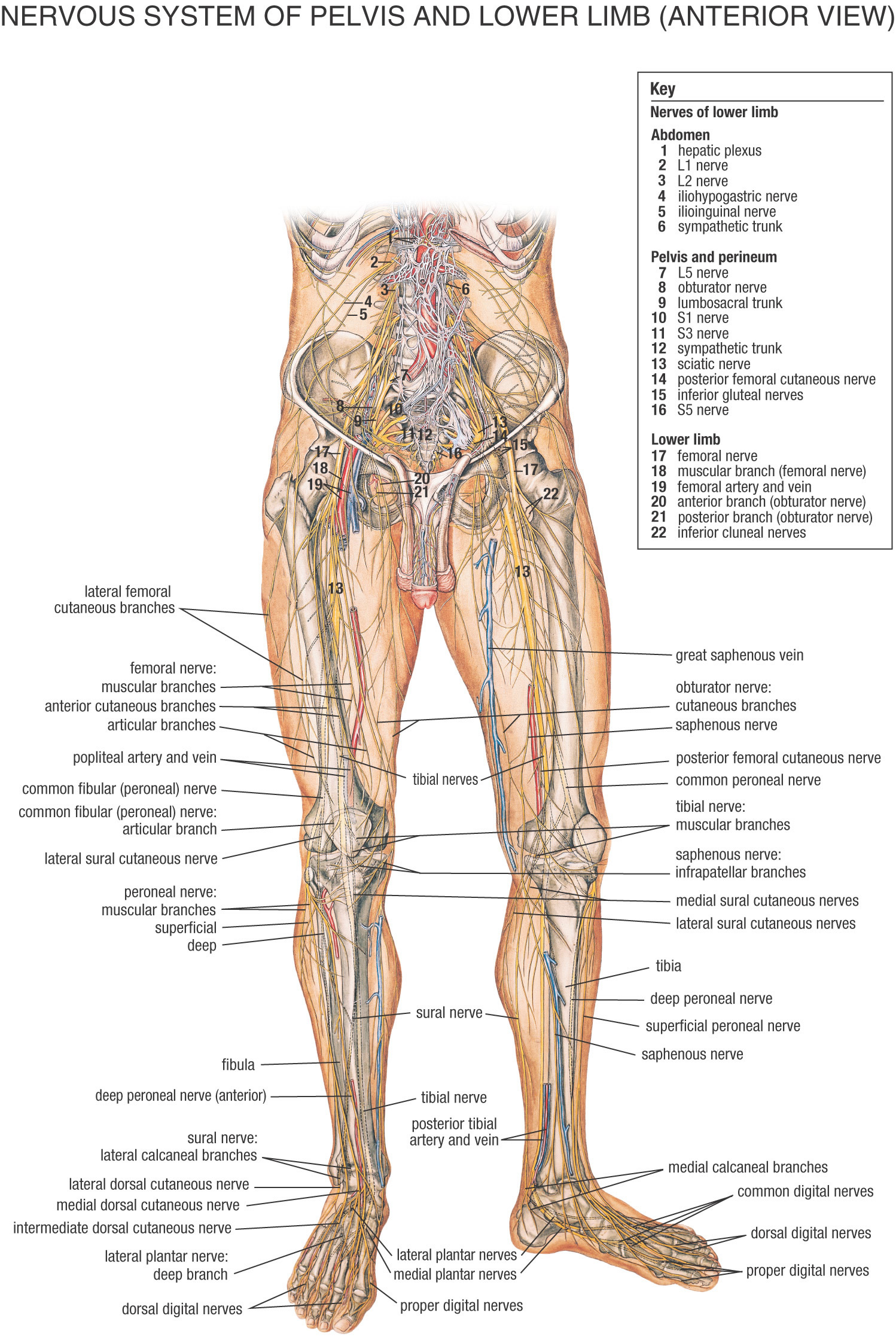 The spinal line is the guideline pathway for educational information uniting the brain and edge antsy system. The length of the spinal line is considerably more restricted than the length […]