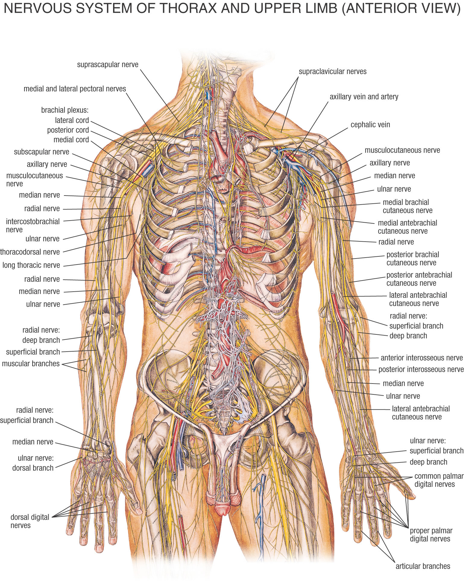 The spinal cord is secured by a few layers of tissue, called spinal meninges, that surround the trench. The dura mater is the uttermost layer, and it shapes a solid […]