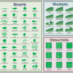 <b>Leaf Shapes</b>