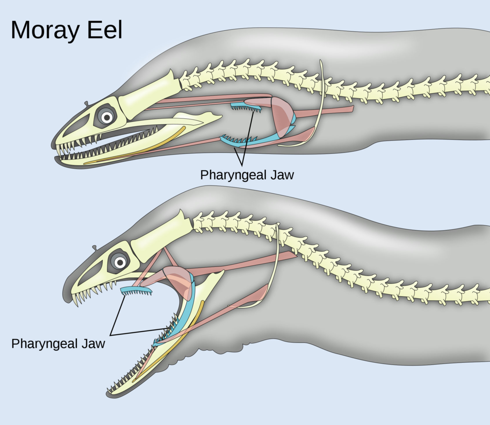 This image show how moray eel open its mouth using its pharyngeal Jaw.