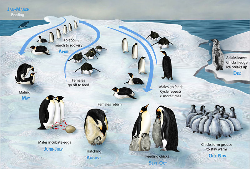 Know the penguins life in whole year. Jan-march is for feeding, April is for marching to rookery, May is for mating, june-july is for incubating eggs through male, August is […]