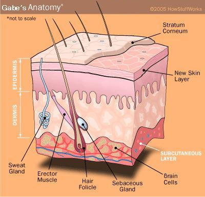 "The epidermis is made out of the uttermost layers of units in the skin, ""epi"" in Greek significance ""over"" or ""upon"", which as one unit with the dermis structures the […]"