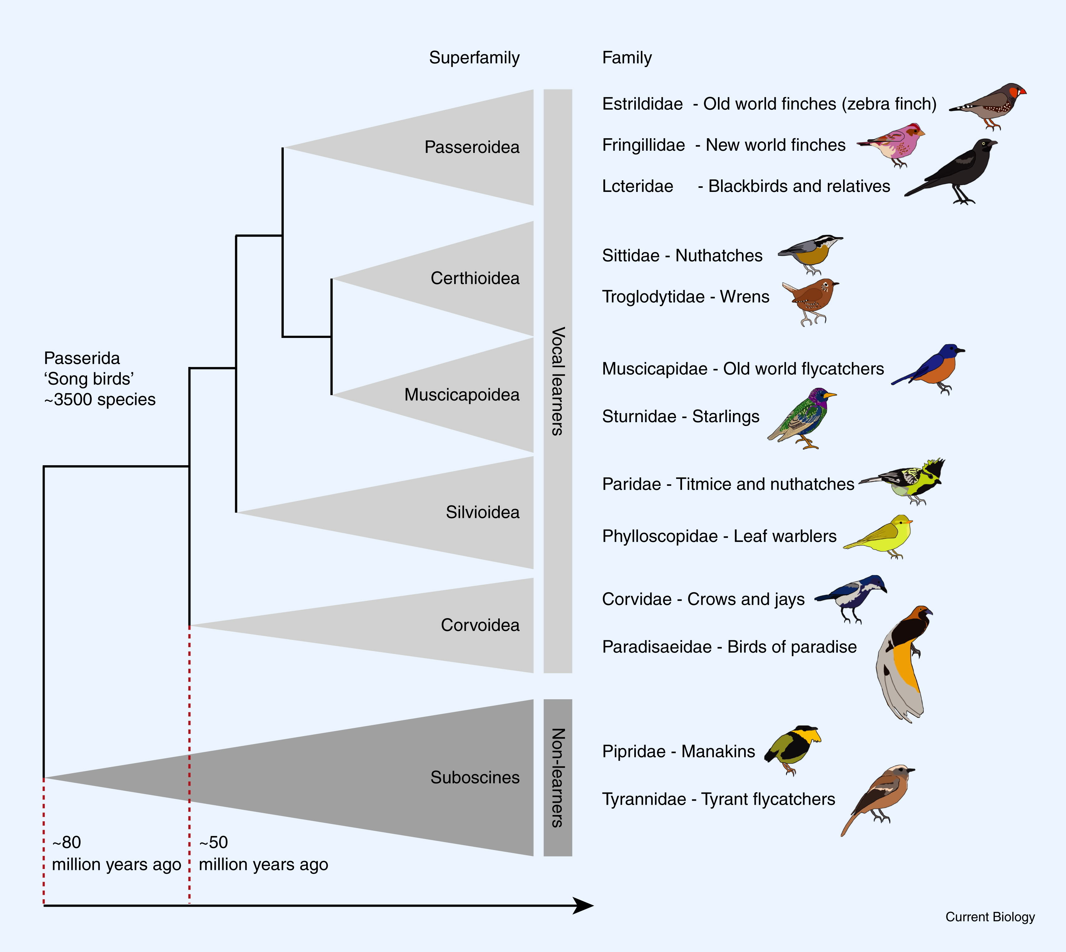 Know the song birds family tree with over 3500 species this past 80 million years ago. You can see the birds species from vocal learners up to non learners. Vocal […]