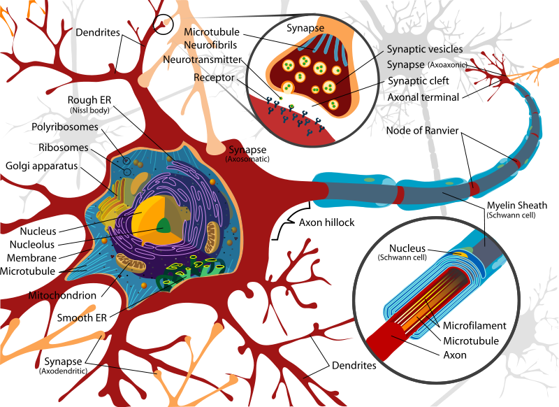 In the anxious framework, a synapse is a structure that allows a neuron (or nerve unit) to pass an electrical or substance indicator to a different unit (neural or generally). […]