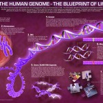<b>The Human Genome</b>
