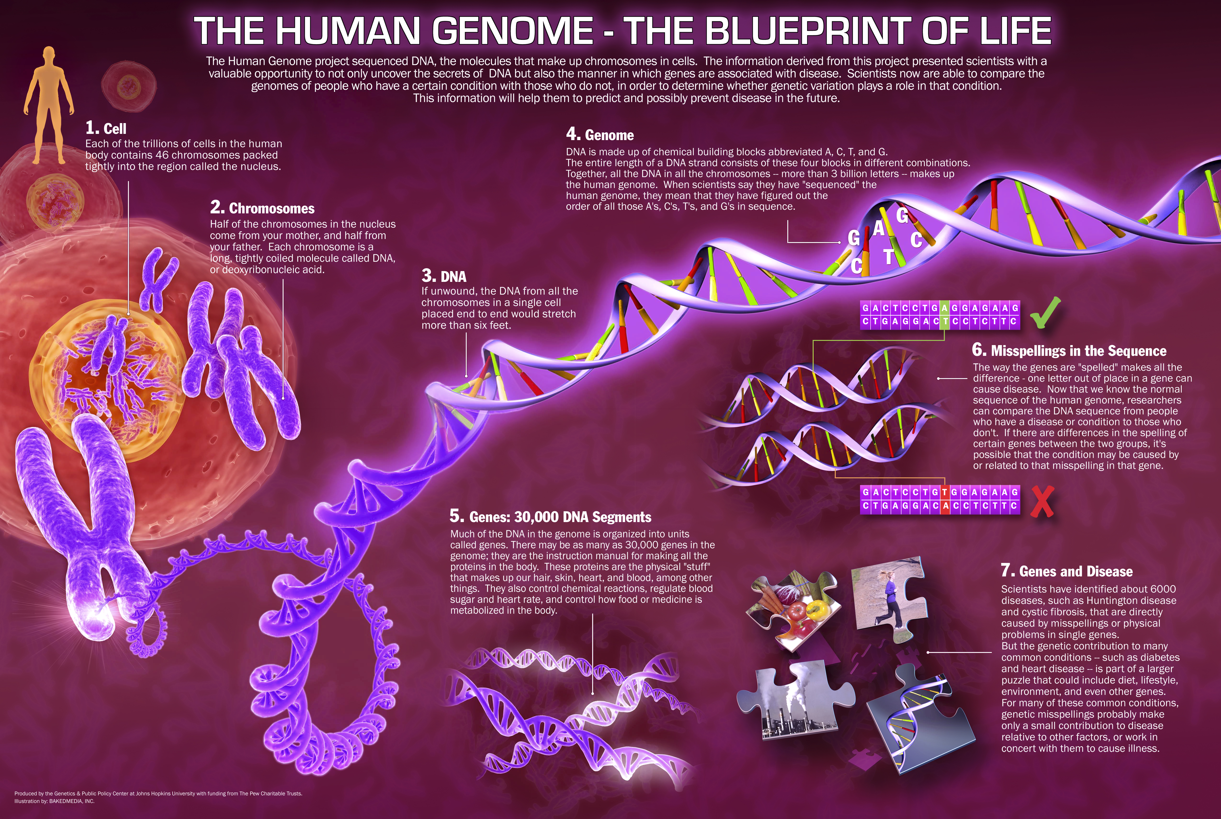 The human genome is the complete arranged of human inherited useful substance, chronicled as DNA groupings within the 23 chromosome matches of the cell centre, and in a minor DNA particle […]