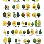 <b>The Different Types of Avocados</b>